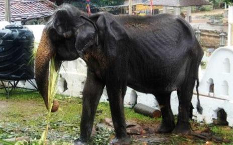 Kasus Tikiri di Sri Lanka, Berapa Berat Ideal Seekor Gajah?