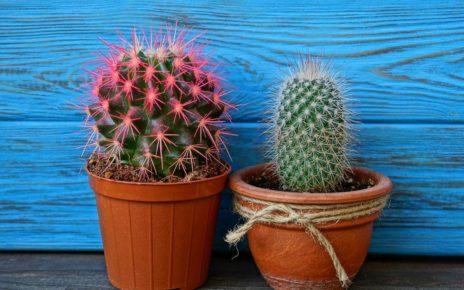 Manfaat Tumbuhan kaktus Dalam Ruangan
